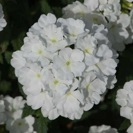 Verbena Showboat White
